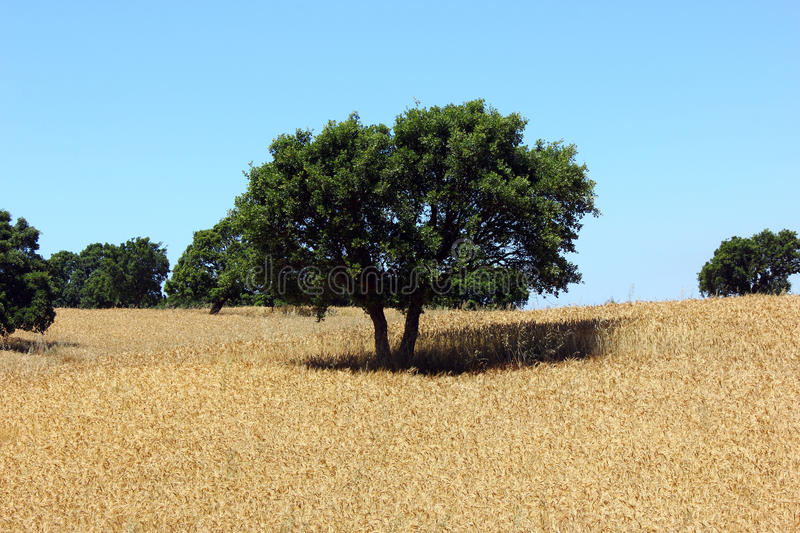 Oak Tree, Alentejo, Portugal Royalty Free Stock Photography