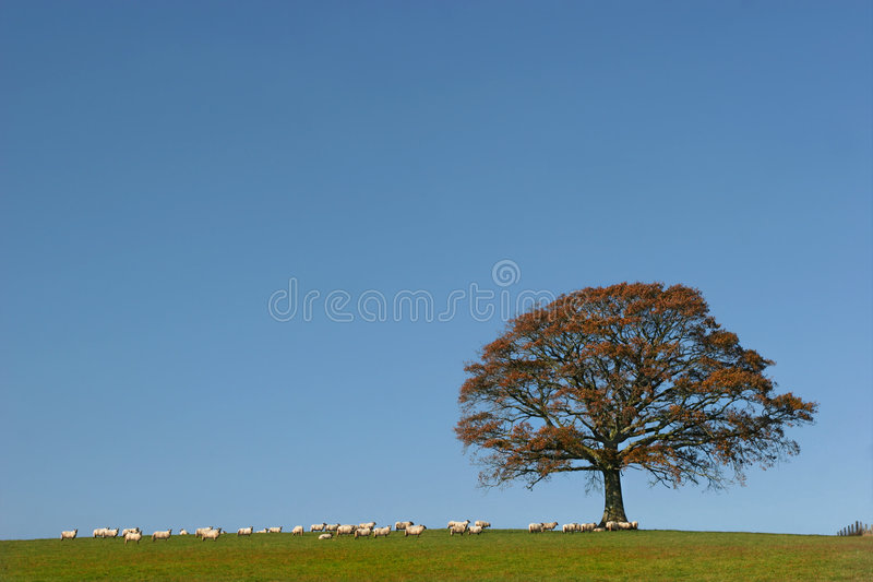 Oak Tree in Autumn. Oak tree in fall in a field with a herd of sheep against on clear blue sky stock images
