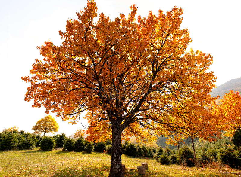 Oak tree in autumn. An oak tree painted by autumn colors stock photography