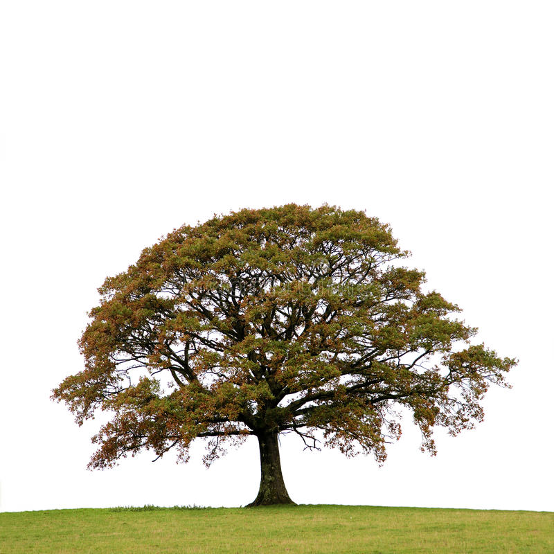 Oak Tree In Autumn royalty free stock images