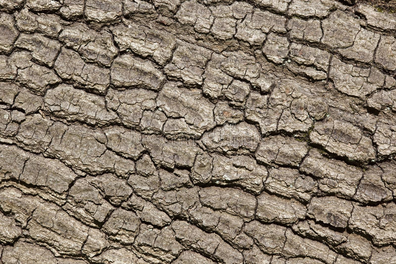Download Oak tree bark stock image. Image of bark, texture, gray - 14857653