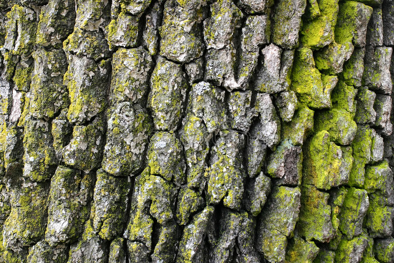 Oak tree bark royalty free stock photos