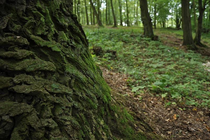 Download Oak tree bark stock photo. Image of flower, road, fall - 33530148