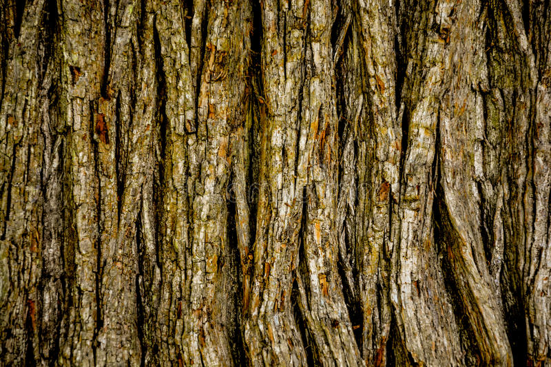 Oak tree bark. A great textured oak tree stock image