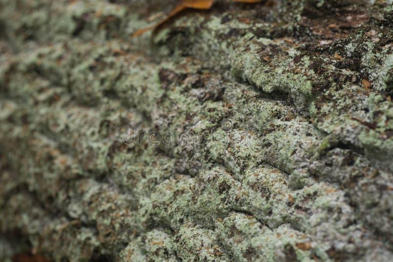 Oak tree bark macro stock photo