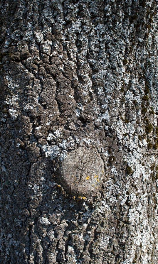 Oak tree bark nature wooden stock image