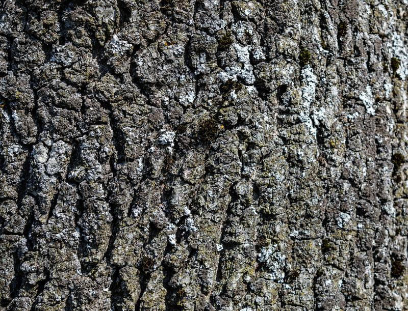 Oak tree bark nature wooden royalty free stock photography