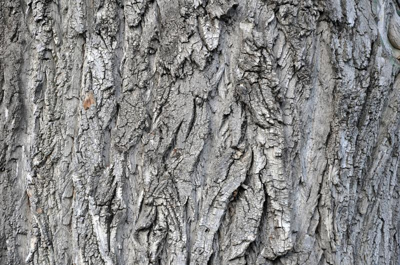 Oak tree bark photograph. Very clear high quality photograph of the natural Oak tree texture. Ideal for background or overlay texture. Could also be used as a royalty free stock photo
