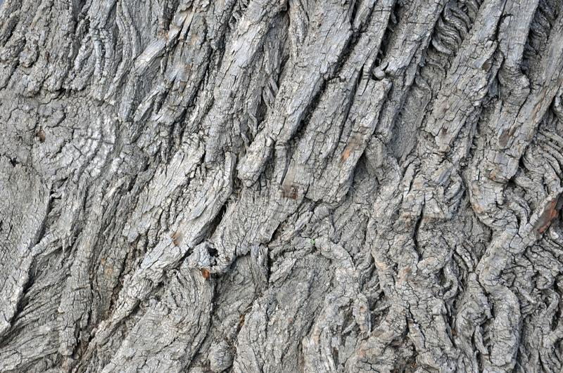 Oak tree bark photograph. Very clear high quality photograph of the natural Oak tree texture. Ideal for background or overlay texture. Could also be used as a royalty free stock photos