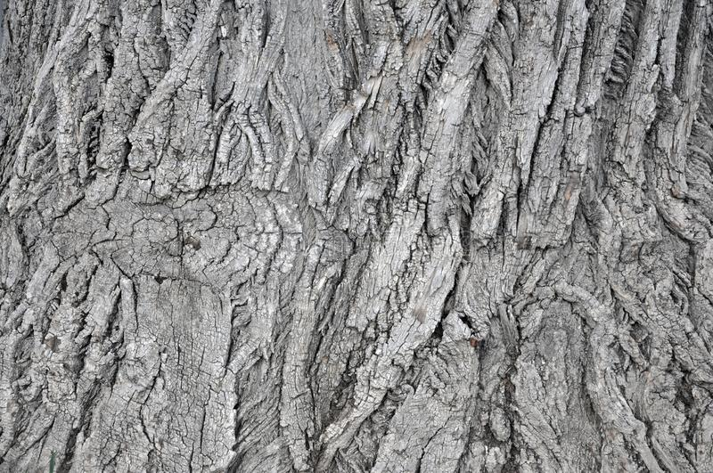 Oak tree bark photograph. Very clear high quality photograph of the natural Oak tree texture. Ideal for background or overlay texture. Could also be used as a stock photo