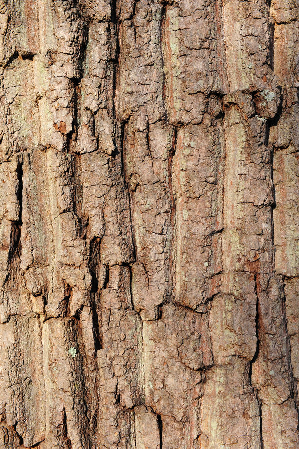 Oak tree bark texture background