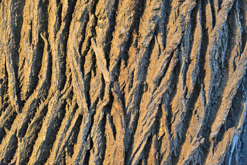 Oak tree bark. Texture closeup with shadows in contrast and warm light in sunset royalty free stock images
