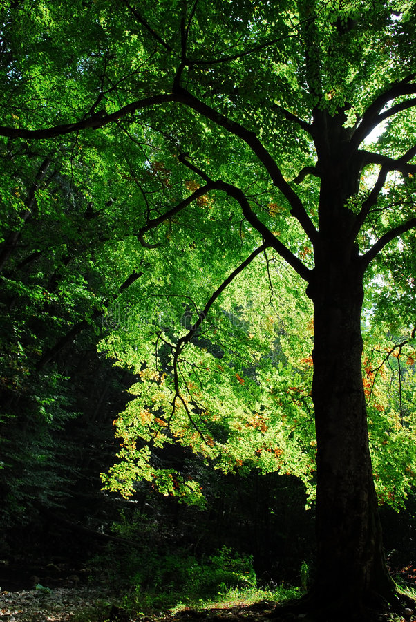 Oak tree with beautiful green foliage royalty free stock images