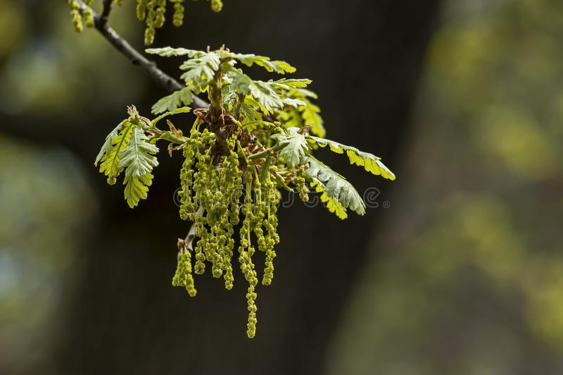Oak tree branch with spring cluster drooping blooms flowers royalty free stock images
