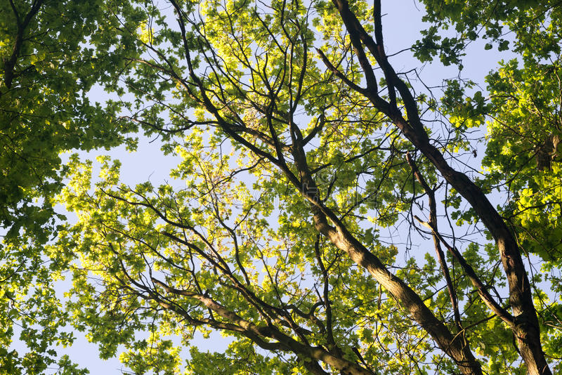 Oak tree branches. Against blue sky stock images