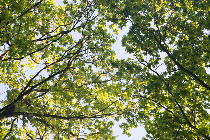 Oak tree branches. Against blue sky stock photography