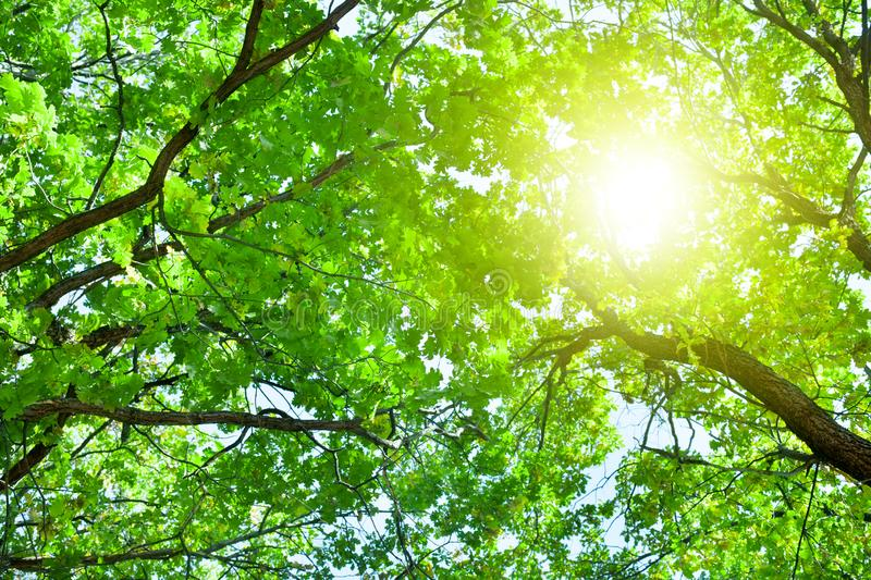 Oak tree branches with green leaves on blue sky and bright sun light background, summer sunny day nature landscape. Sunlight on green lush foliage forest stock photos