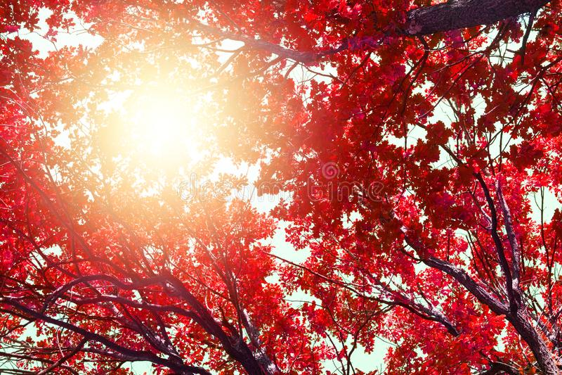 Oak tree branches with red leaves on blue sky and bright sunlight background, autumn sunny day nature artistic image, fall season stock image