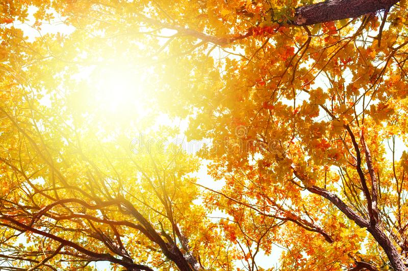 Oak tree branches with yellow leaves on blue sky and bright sunlight background, golden autumn sunny day nature, fall season trees royalty free stock image