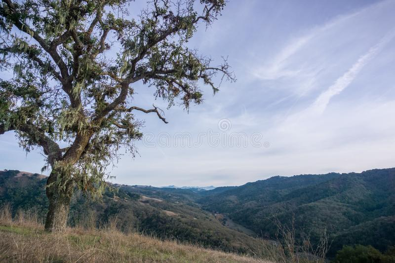 Oak tree covered in lace lichen; landscape in Henry W. Coe State Park in the background, south San Francisco bay, California royalty free stock photos