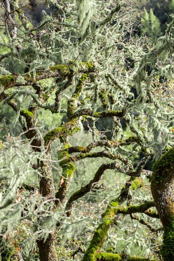 An oak tree covered in Lace Lichen (Ramalina menziesii). Lace Lichen (aka California Spanish Moss), Ramalina menziesii, hanging on a an Oak tree royalty free stock images