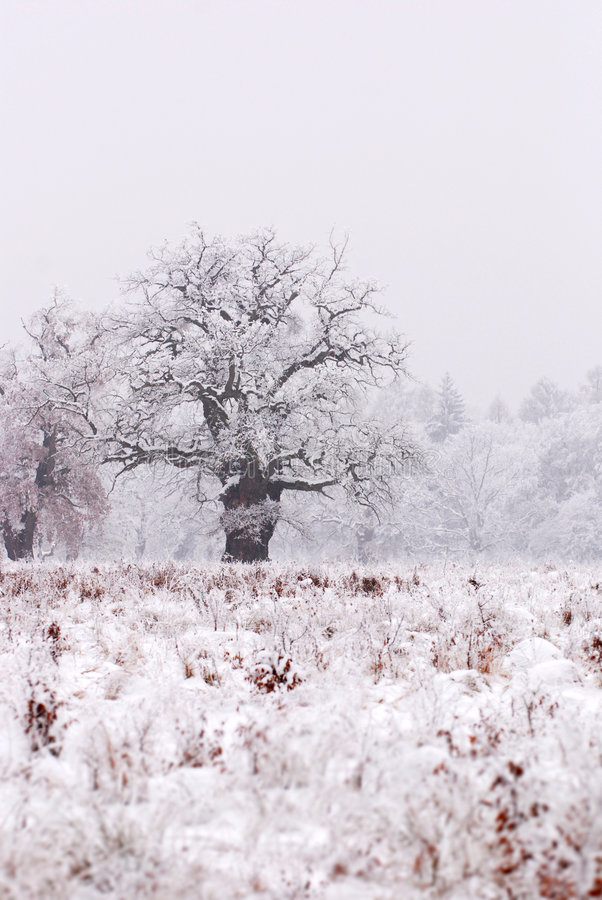 Oak tree covered in snow stock photos