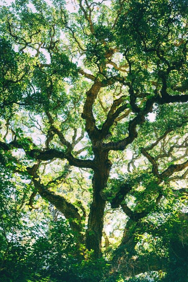 Oak tree crown against the sky. stock image