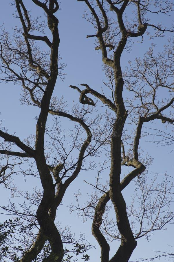 Oak tree Disley, Stockport, Darbyshire England Lyme Park. Oak tree Disley, Stockport, Darbyshire England Lyme Park royalty free stock photography
