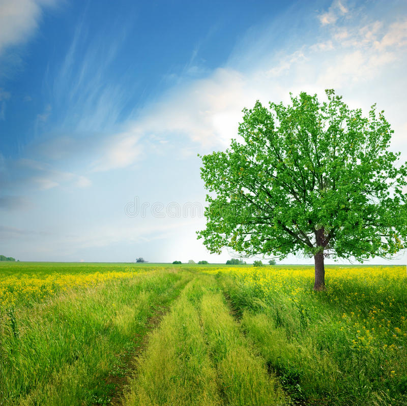 Oak tree on the field. Green field with tree and cloudy sky stock photography