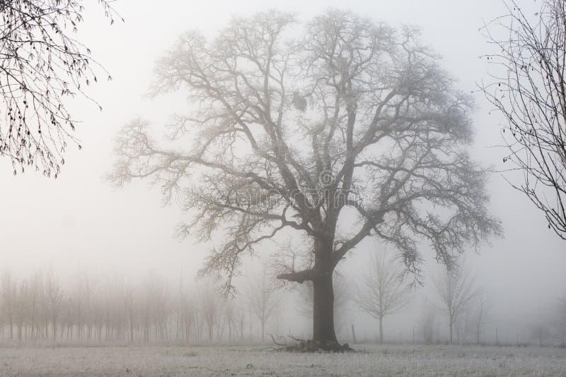 Oak Tree On A Foggy Morning, Oregon Free Public Domain Cc0 Image