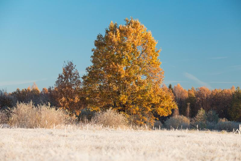 Oak tree on frosty meadow. Autumn background. Fall weather. Frost on grass. Oak tree on frosty meadow illuminated by rising sun stock images