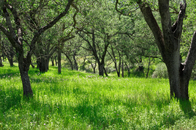Oak Tree Glade stock photo
