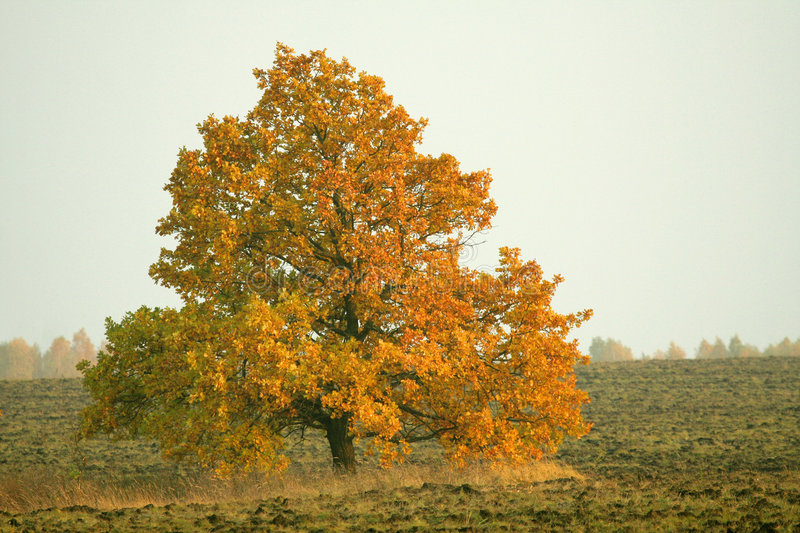 Oak Tree with Gold Leaves royalty free stock photography