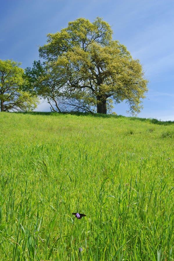 Free Oak Tree In Spring Royalty Free Stock Photos - 621468
