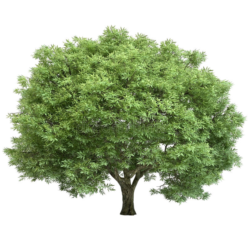 Free Oak Tree Isolated Royalty Free Stock Image - 34045586