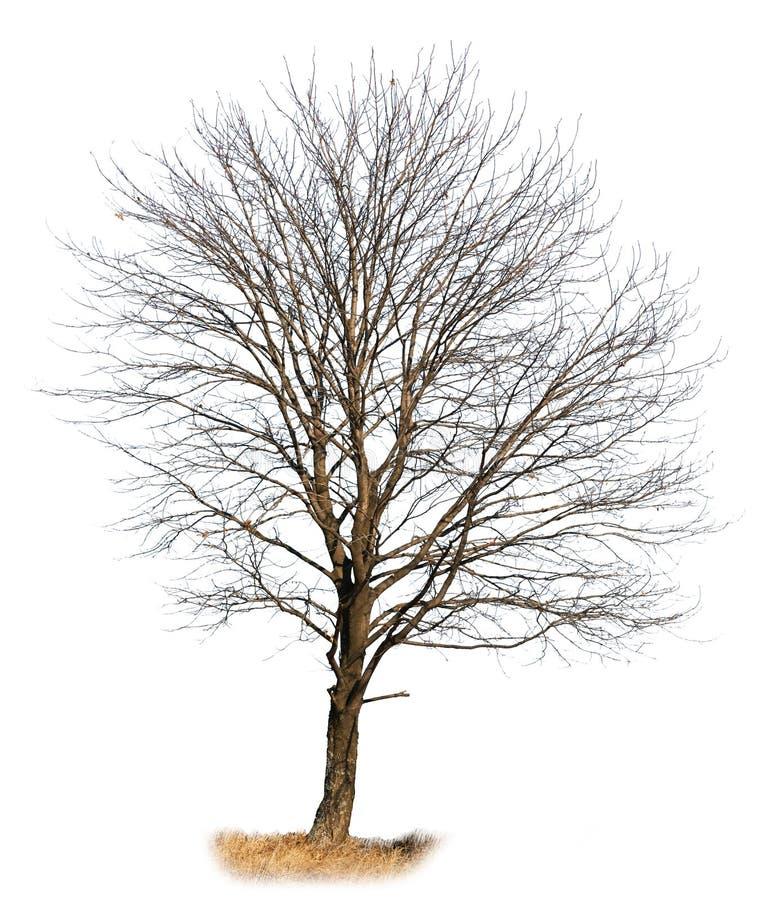 Oak Tree Isolated On White Royalty Free Stock Photography