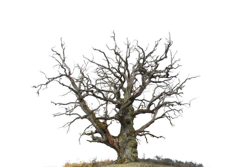Oak tree isolated on white royalty free stock image