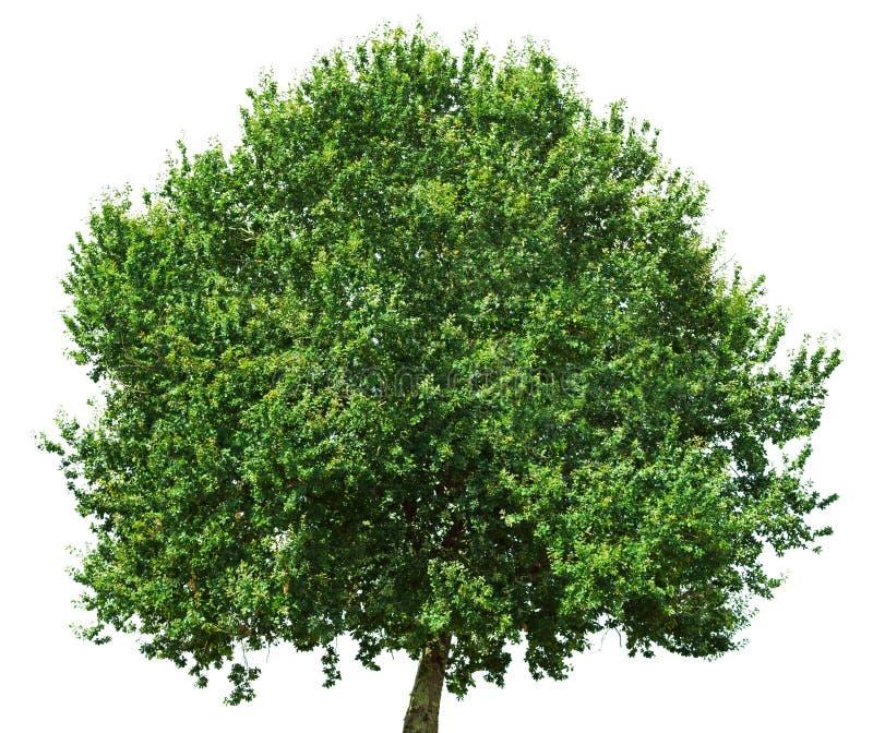 Oak tree isolated on white background royalty free stock photo