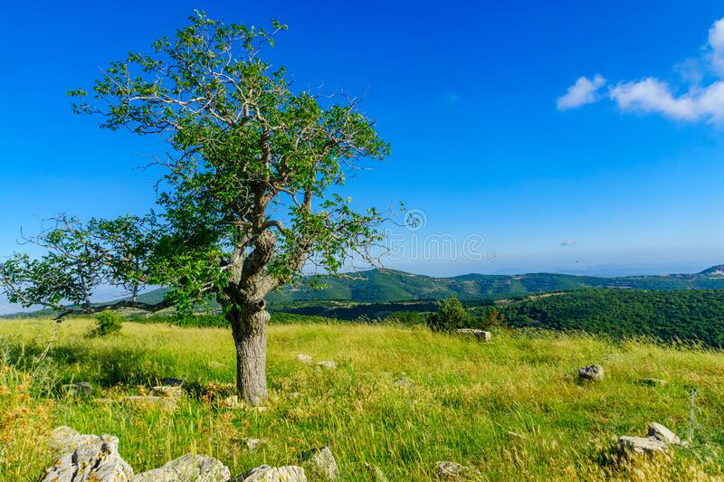 Oak tree and landscape on Mount Meron, the upper Galilee royalty free stock images