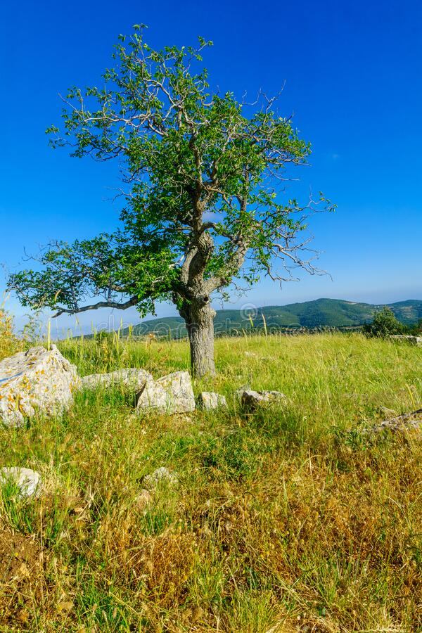 Oak tree and landscape on Mount Meron, the upper Galilee stock photos