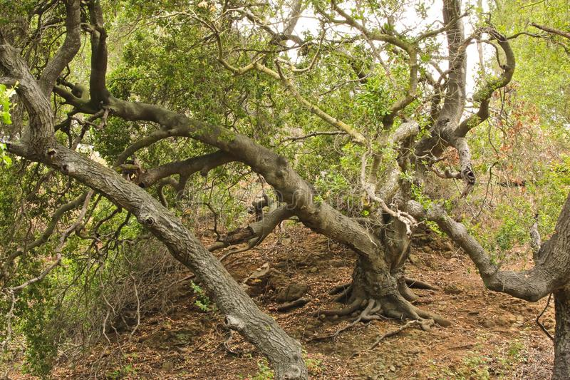 Oak tree. Large old oak tree with huge tree trunk in woods of Thousand Oaks California royalty free stock photography