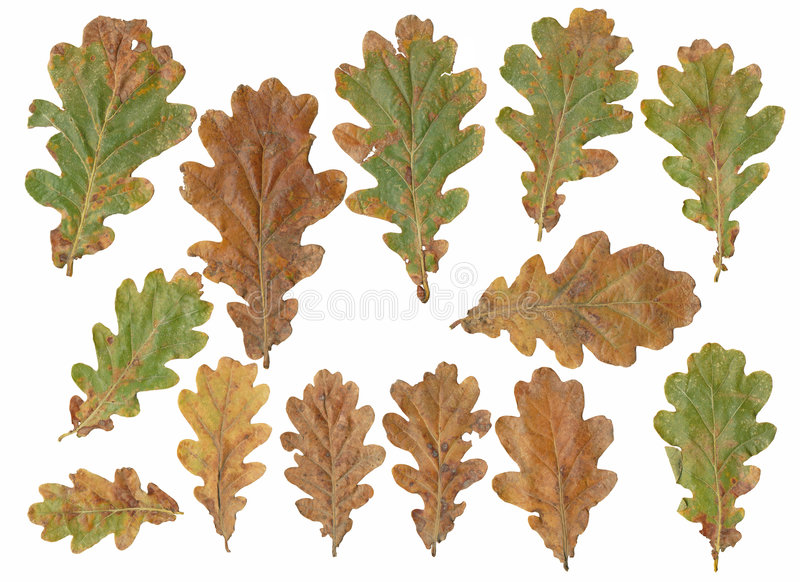 Oak tree leafs. Isolated on white background royalty free stock image