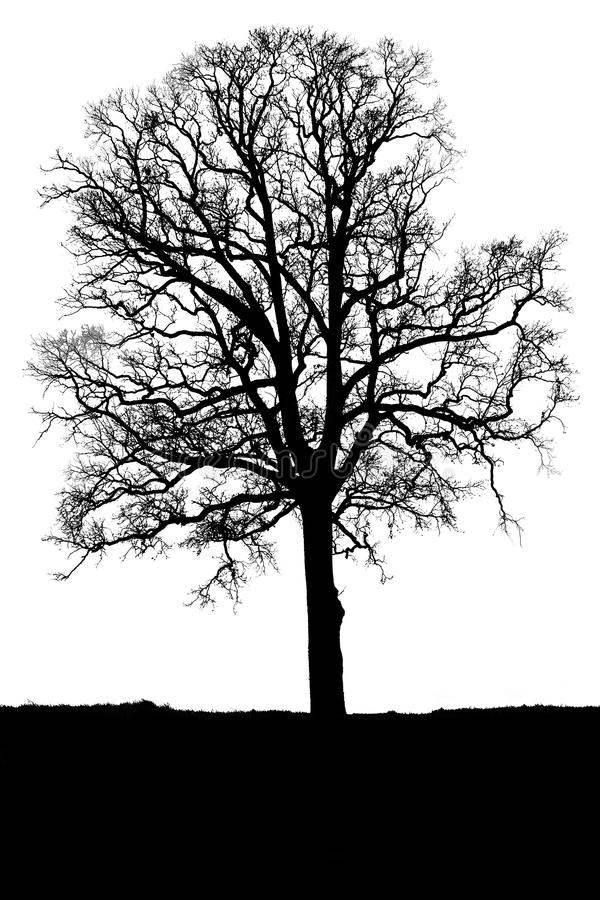 Oak Tree Without Leaves Stock Photo Image Of Lumber