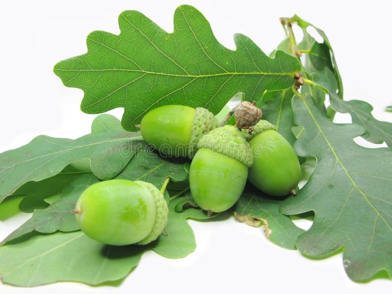 Oak tree leaves and nuts stock photo
