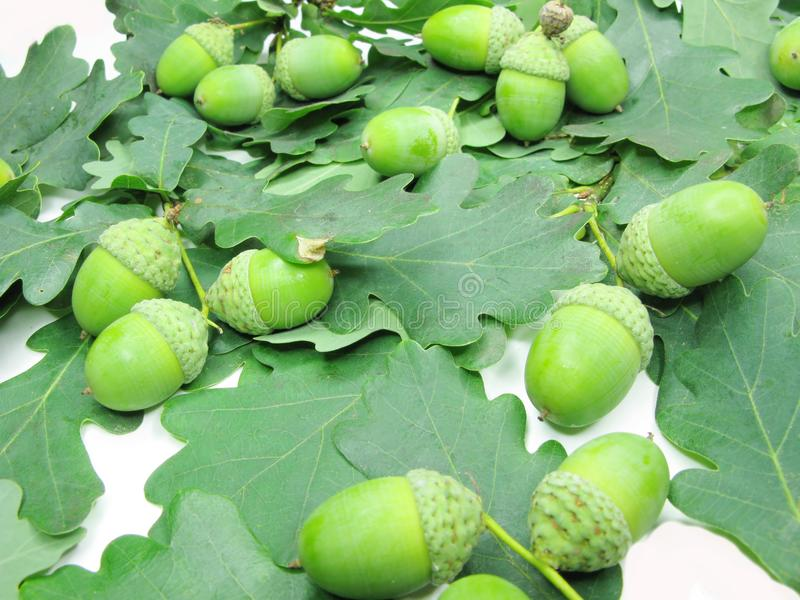 Oak tree leaves and nuts stock images
