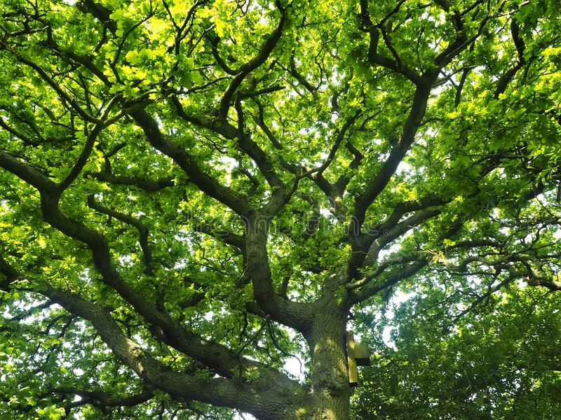 Oak tree with new spring leaves and a bat box royalty free stock images
