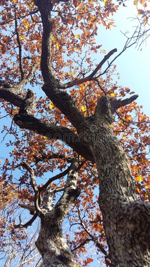 Download OAK TREE IN AUTUMN stock photo. Image of woods, leaves - 82181428