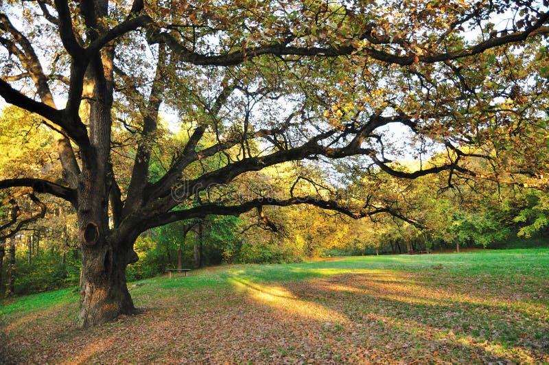 Oak Tree in Park royalty free stock photos