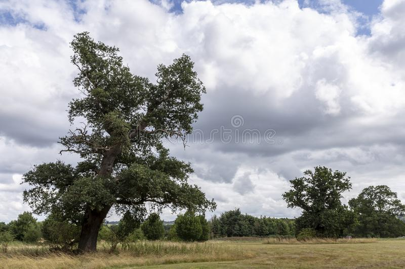 Oak Tree in parkland stock images