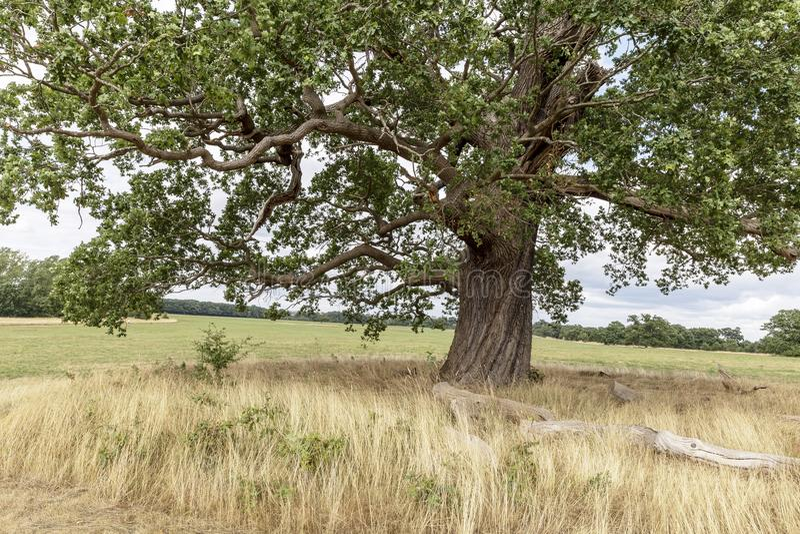 Oak Tree in parkland stock photography